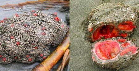 این سنگ های زنده را کباب کنید و بخورید!+ عکس